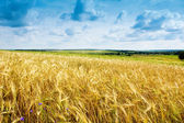 Ripe wheat landscape against blue sky — Stok fotoğraf