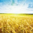Ripe wheat landscape against blue sky — Stockfoto #8644548