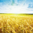 Ripe wheat landscape against blue sky — Stock Photo #8644548