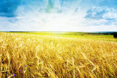 Ripe wheat landscape against blue sky — Stock Photo