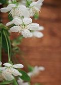 Spring blossom cherry flowers — Stock Photo