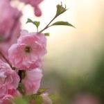 Spring blossom of pink sakura — Stock Photo