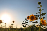 Sunflowers in field and blue clear sky — Stock Photo