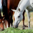 Arabian horses eating grass in field — Stock Photo