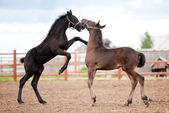 Two Friesian foals playing in field — Stock Photo
