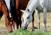 Cavalli arabi mangiare erba nel campo — Foto Stock