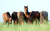 Young horses eating grass in field — Stock Photo