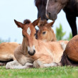 Stock Photo: Foal lying