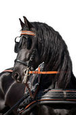 Friesian horse isolated — Stock Photo