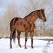 Chestnut horse standing in field — Stock Photo