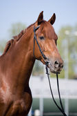 Chestnut horse head — Foto de Stock