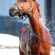 Horse wash - Stock Photo