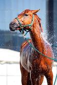 Horse wash — Stock Photo