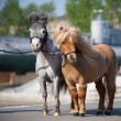 Small horses in city — Stock Photo