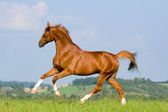 Chestnut horse runs gallop in field — Foto Stock