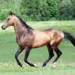 Akhal-Teke horse runs in field - Stock Photo