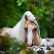 Stock Photo: Welsh pony in forest
