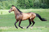 Akhal-Teke horse runs in field — Stock Photo