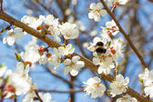 Bumble bee in blossoming cherry tree — Stock Photo