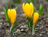 Spring yellow flower — Stock Photo