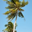 Two coconut trees — Stock Photo