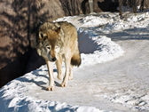 Lobo cinzento — Foto Stock