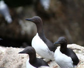 The Guillemots on eaves — Stock Photo