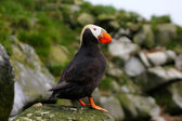 The Tufted Puffin (side view) — Stock Photo