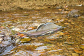 The humpback salmon goes on spawning — Stock Photo