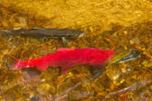 Main run blue-backed salmon (Oncorhynchus nerka) — Stock Photo