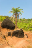 Palm tree and black stones in Goa — Stock Photo