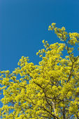 Flowering maple — Stock Photo