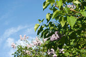 Lila blühenden büschen — Stockfoto