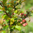 Japanese quince (Chaenomeles japonica) buds — Stock Photo #9715078