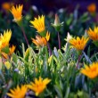 Stock Photo: Ice Plant