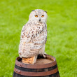 Siberian eagle owl — Stock Photo