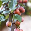 Stock Photo: Plums on Tree