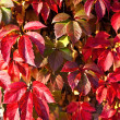 Virginia creeper on the wall in autumn - Stock Photo