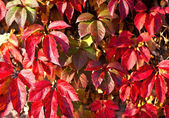 Virginia creeper on the wall in autumn — Stock Photo