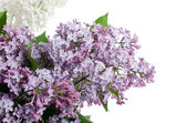 Beautiful lilac isolated on white background — Stock Photo