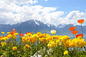 Fleurs contre les montagnes et le lac léman depuis la digue à montreux. suisse — Photo