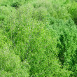 Stock Photo: Foliage of green wood from height