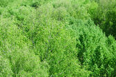 Laub grün holz aus höhe — Stockfoto