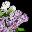 The beautiful lilac on black background — 图库照片