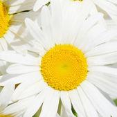 Bouquet of wild camomiles — Foto de Stock