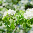 Blossoming an apple-tree in the sprin - Foto de Stock
