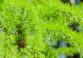хвоя зеленый лес с высоты — Стоковое фото