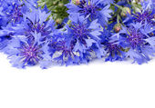 Beautiful blue cornflower — Stock Photo