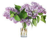 The beautiful lilac isolated on white — Stock Photo