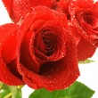 Red rose isolated on white background - Stockfoto